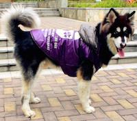 Крупная собака в одежде