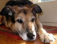 Старость собаки